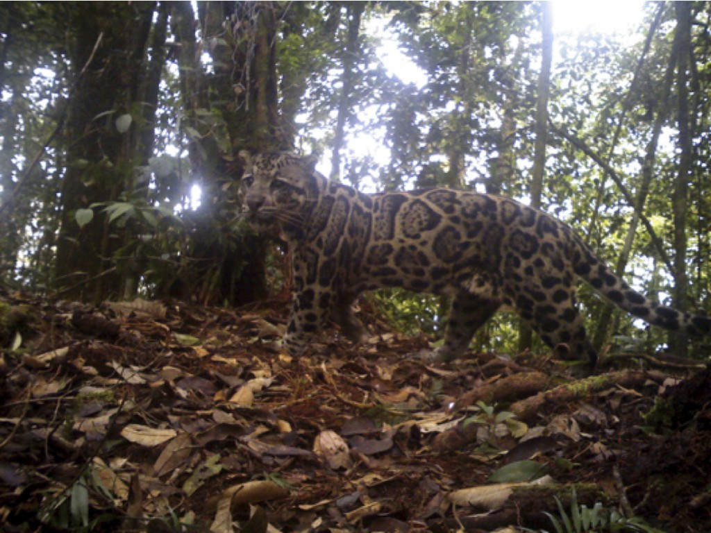 WildCRU clouded leopard